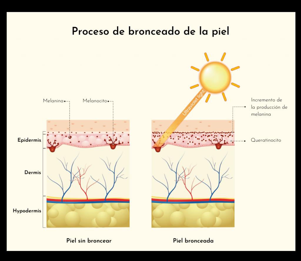 Proceso de bronceado de la piel